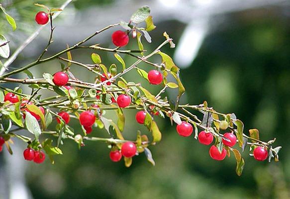 Red Huckleberry Bush