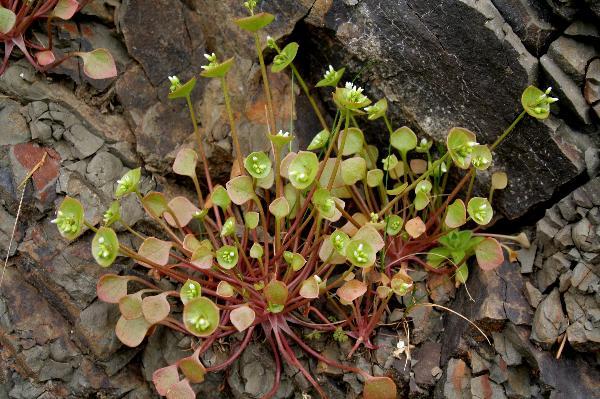 Miner's Lettuce (Montia perfoliata) in British Columbia  Miner's Let...
